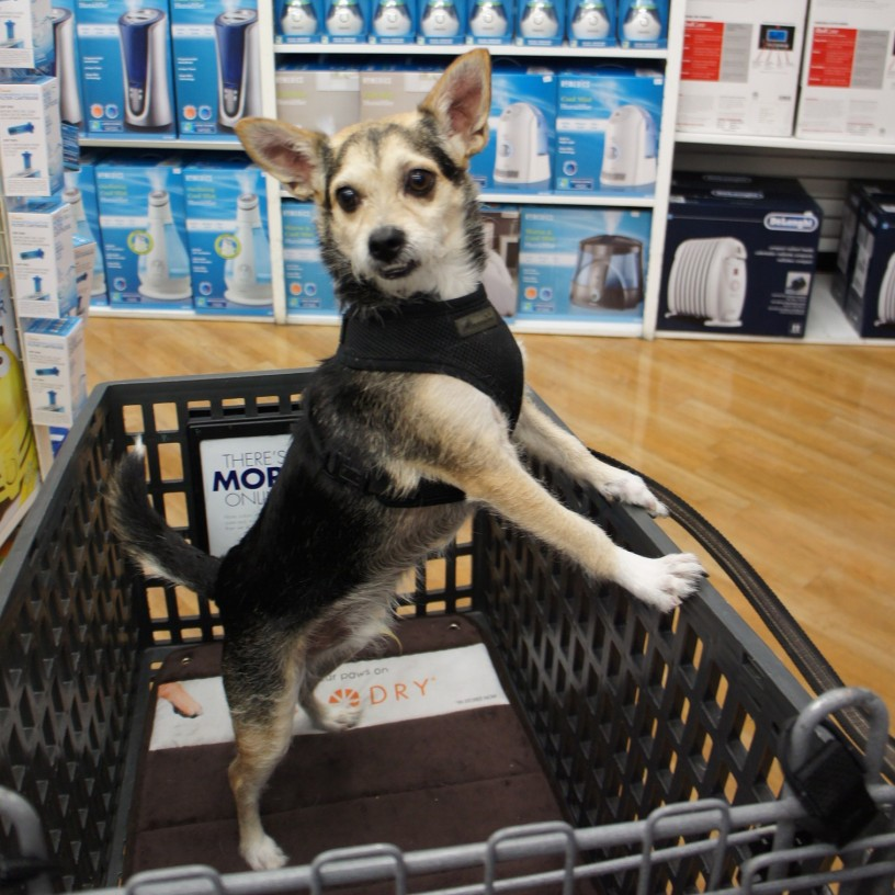 Albert at dog-friendly Bed Bath & Beyond